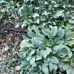Leaves: Mertensia maritima. ~ By Marilee Lovit. ~ Copyright © 2020 Marilee Lovit. ~ lovitm[at]gmail.com
