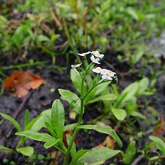 Plant form: Myosotis scorpioides. ~ By Arthur Haines. ~ Copyright © 2019. ~ arthurhaines[at]wildblue.net