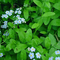Leaves: Myosotis scorpioides. ~ By Glen Mittelhauser. ~ Copyright © 2020 Glen Mittelhauser. ~ www.mainenaturalhistory.org