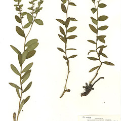 Plant form: Onosmodium virginianum. ~ By CONN Herbarium. ~ Copyright © 2017 CONN Herbarium. ~ Requests for image use not currently accepted by copyright holder ~ U. of Connecticut Herbarium - bgbaseserver.eeb.uconn.edu/