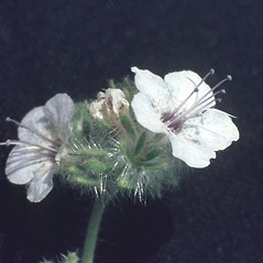 Flowers: Phacelia brachyloba. ~ By T.F. Niehaus. ~ Copyright © 2018 Courtesy of the Smithsonian Institution . ~ For permission and usage agreements: http://botany.si.edu/PlantImages ~ Courtesy of Smithsonian Institution, National Museum of Natural History, Department of Botany, Plant Image Collection; botany.si.edu/PlantImages/