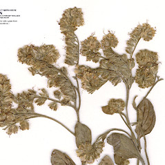 Flowers: Phacelia egena. ~ By CONN Herbarium. ~ Copyright © 2020 CONN Herbarium. ~ Requests for image use not currently accepted by copyright holder ~ U. of Connecticut Herbarium - bgbaseserver.eeb.uconn.edu/