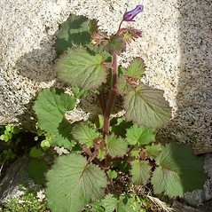 Plant form: Phacelia minor. ~ By Neal Kramer. ~ Copyright © 2018 Neal Kramer. ~ kramerbotanical[at]yahoo.com ~ CalPhotos - calphotos.berkeley.edu/flora/
