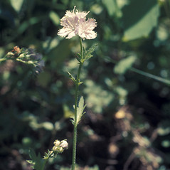 Plant form: Phacelia purshii. ~ By Lawrence Newcomb. ~ Copyright © 2019 New England Wild Flower Society. ~ Image Request, images[at]newenglandwild.org