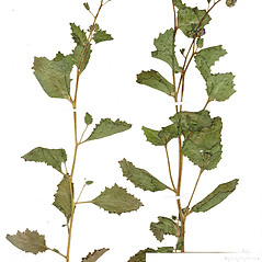Plant form: Phacelia viscida. ~ By CONN Herbarium. ~ Copyright © 2019 CONN Herbarium. ~ Requests for image use not currently accepted by copyright holder ~ U. of Connecticut Herbarium - bgbaseserver.eeb.uconn.edu/