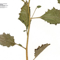 Leaves: Phacelia viscida. ~ By CONN Herbarium. ~ Copyright © 2019 CONN Herbarium. ~ Requests for image use not currently accepted by copyright holder ~ U. of Connecticut Herbarium - bgbaseserver.eeb.uconn.edu/