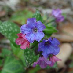 Flowers: Pulmonaria saccharata. ~ By Arthur Haines. ~ Copyright © 2019. ~ arthurhaines[at]wildblue.net