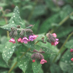 Flowers: Pulmonaria saccharata. ~ By John Lynch. ~ Copyright © 2020 New England Wild Flower Society. ~ Image Request, images[at]newenglandwild.org