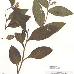 Plant form: Symphytum tuberosum. ~ By CONN Herbarium. ~ Copyright © 2018 CONN Herbarium. ~ Requests for image use not currently accepted by copyright holder ~ U. of Connecticut Herbarium - bgbaseserver.eeb.uconn.edu/