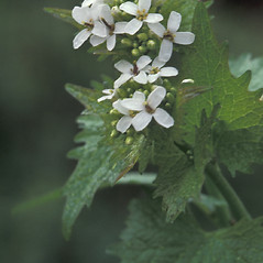 Flowers: Alliaria petiolata. ~ By Albert Bussewitz. ~ Copyright © 2017 New England Wild Flower Society. ~ Image Request, images[at]newenglandwild.org
