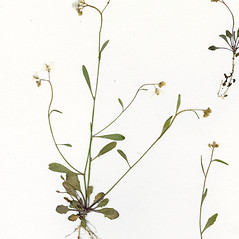 Plant form: Arabidopsis lyrata. ~ By CONN Herbarium. ~ Copyright © 2019 CONN Herbarium. ~ Requests for image use not currently accepted by copyright holder ~ U. of Connecticut Herbarium - bgbaseserver.eeb.uconn.edu/