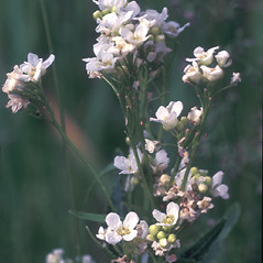 Flowers: Armoracia rusticana. ~ By Albert Bussewitz. ~ Copyright © 2019 New England Wild Flower Society. ~ Image Request, images[at]newenglandwild.org
