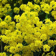 Flowers: Aurinia saxatilis. ~ By Paul S. Drobot. ~ Copyright © 2019 Paul S. Drobot. ~ www.plantstogrow.com, www.plantstockphotos.com ~ Robert W. Freckmann Herbarium, U. of Wisconsin-Stevens Point