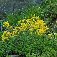 Plant form: Aurinia saxatilis. ~ By Paul S. Drobot. ~ Copyright © 2019 Paul S. Drobot. ~ www.plantstogrow.com, www.plantstockphotos.com ~ Robert W. Freckmann Herbarium, U. of Wisconsin-Stevens Point
