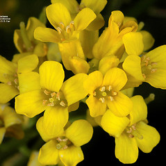 Flowers: Barbarea orthoceras. ~ By Gerry Carr. ~ Copyright © 2017 Gerry Carr. ~ gdcarr[at]comcast.net ~ Oregon Flora Image Project - www.botany.hawaii.edu/faculty/carr/ofp/ofp_index.htm