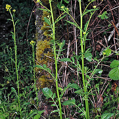 Plant form: Barbarea orthoceras. ~ By Gerry Carr. ~ Copyright © 2017 Gerry Carr. ~ gdcarr[at]comcast.net ~ Oregon Flora Image Project - www.botany.hawaii.edu/faculty/carr/ofp/ofp_index.htm