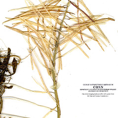 Fruits: Boechera grahamii. ~ By CONN Herbarium. ~ Copyright © 2020 CONN Herbarium. ~ Requests for image use not currently accepted by copyright holder ~ U. of Connecticut Herbarium - bgbaseserver.eeb.uconn.edu/