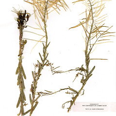 Plant form: Boechera grahamii. ~ By CONN Herbarium. ~ Copyright © 2019 CONN Herbarium. ~ Requests for image use not currently accepted by copyright holder ~ U. of Connecticut Herbarium - bgbaseserver.eeb.uconn.edu/