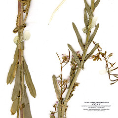 Leaves: Boechera grahamii. ~ By CONN Herbarium. ~ Copyright © 2019 CONN Herbarium. ~ Requests for image use not currently accepted by copyright holder ~ U. of Connecticut Herbarium - bgbaseserver.eeb.uconn.edu/