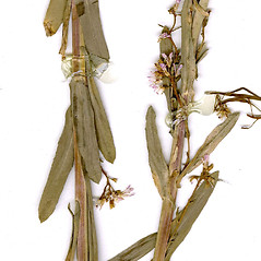 Stems: Boechera grahamii. ~ By CONN Herbarium. ~ Copyright © 2019 CONN Herbarium. ~ Requests for image use not currently accepted by copyright holder ~ U. of Connecticut Herbarium - bgbaseserver.eeb.uconn.edu/