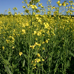 Flowers: Brassica napus. ~ By Steve Garske. ~ Copyright © 2018 Steve Garske. ~ asimina[at]alphacomm.net