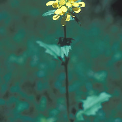 Flowers: Brassica nigra. ~ By John Lynch. ~ Copyright © 2017 New England Wild Flower Society. ~ Image Request, images[at]newenglandwild.org