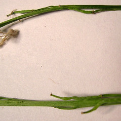 Stems: Brassica nigra. ~ By Forest & Kim Starr. ~ Copyright © 2018 CC BY-NC 3.0. ~  ~ Bugwood - www.bugwood.org/