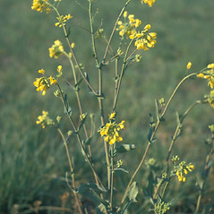 Plant form: Brassica rapa. ~ By Frank Bramley. ~ Copyright © 2019 New England Wild Flower Society. ~ Image Request, images[at]newenglandwild.org