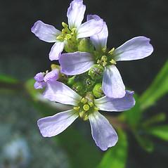 Flowers: Cakile edentula. ~ By Glen Mittelhauser. ~ Copyright © 2019 Glen Mittelhauser. ~ www.mainenaturalhistory.org