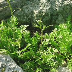Plant form: Capsella bursa-pastoris. ~ By Glen Mittelhauser. ~ Copyright © 2017 Glen Mittelhauser. ~ www.mainenaturalhistory.org