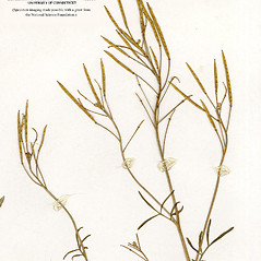Fruits: Cardamine dentata. ~ By CONN Herbarium. ~ Copyright © 2019 CONN Herbarium. ~ Requests for image use not currently accepted by copyright holder ~ U. of Connecticut Herbarium - bgbaseserver.eeb.uconn.edu/