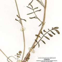 Stems: Cardamine dentata. ~ By CONN Herbarium. ~ Copyright © 2019 CONN Herbarium. ~ Requests for image use not currently accepted by copyright holder ~ U. of Connecticut Herbarium - bgbaseserver.eeb.uconn.edu/