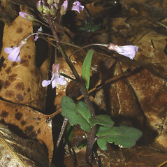 Plant form: Cardamine douglassii. ~ By Steven Baskauf. ~ Copyright © 2019 CC-BY-NC-SA. ~  ~ Bioimages - www.cas.vanderbilt.edu/bioimages/frame.htm