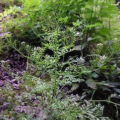 Plant form: Cardamine impatiens. ~ By Peter LLewellyn. ~ Copyright © 2020 Peter LLewellyn. ~ ukwildflowers.com ~ www.ukwildflowers.com/