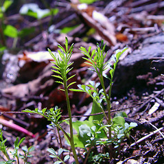 Leaves: Cardamine parviflora. ~ By Arthur Haines. ~ Copyright © 2020. ~ arthurhaines[at]wildblue.net