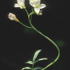 Flowers: Cardamine pratensis. ~ By Albert Bussewitz. ~ Copyright © 2017 New England Wild Flower Society. ~ Image Request, images[at]newenglandwild.org