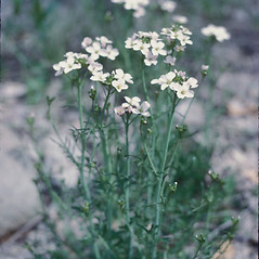 Plant form: Cardamine pratensis. ~ By Lawrence Newcomb. ~ Copyright © 2020 New England Wild Flower Society. ~ Image Request, images[at]newenglandwild.org
