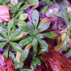 Leaves: Draba glabella. ~ By Arthur Haines. ~ Copyright © 2020. ~ arthurhaines[at]wildblue.net