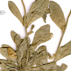 Stems: Draba glabella. ~ By CONN Herbarium. ~ Copyright © 2017 CONN Herbarium. ~ Requests for image use not currently accepted by copyright holder ~ U. of Connecticut Herbarium - bgbaseserver.eeb.uconn.edu/