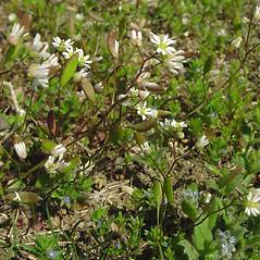 Plant form: Draba verna. ~ By Glen Mittelhauser. ~ Copyright © 2019 Glen Mittelhauser. ~ www.mainenaturalhistory.org