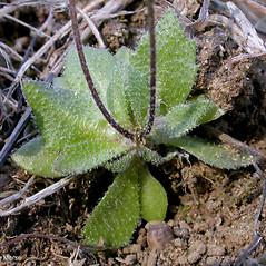 Leaves: Draba verna. ~ By Keir Morse. ~ Copyright © 2019 Keir Morse. ~ www.keiriosity.com ~ www.keiriosity.com