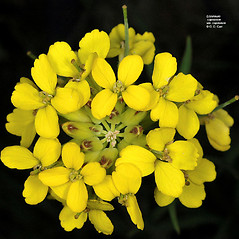 Flowers: Erysimum capitatum. ~ By Gerry Carr. ~ Copyright © 2017 Gerry Carr. ~ gdcarr[at]comcast.net ~ Oregon Flora Image Project - www.botany.hawaii.edu/faculty/carr/ofp/ofp_index.htm