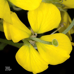 Flowers: Erysimum capitatum. ~ By Gerry Carr. ~ Copyright © 2019 Gerry Carr. ~ gdcarr[at]comcast.net ~ Oregon Flora Image Project - www.botany.hawaii.edu/faculty/carr/ofp/ofp_index.htm