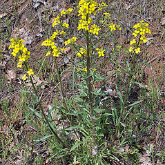 Plant form: Erysimum capitatum. ~ By Gerry Carr. ~ Copyright © 2017 Gerry Carr. ~ gdcarr[at]comcast.net ~ Oregon Flora Image Project - www.botany.hawaii.edu/faculty/carr/ofp/ofp_index.htm