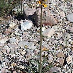 Plant form: Erysimum capitatum. ~ By Keir Morse. ~ Copyright © 2018 Keir Morse. ~ www.keiriosity.com ~ www.keiriosity.com
