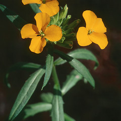 Flowers: Erysimum capitatum. ~ By Darel Hess. ~ Copyright © 2019 CC-BY-NC-SA. ~  ~ Bioimages - www.cas.vanderbilt.edu/bioimages/frame.htm