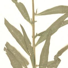 Stems: Erysimum hieraciifolium. ~ By Botanic Garden and Botanical Museum Berlin-Dahlem. ~ Copyright © 2018 CC BY-SA. ~  ~ Botanic Garden and Botanical Museum Berlin-Dahlem - ww2.bgbm.org/Herbarium/default.cfm