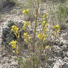 Plant form: Erysimum inconspicuum. ~ By Curtis Bjork. ~ Copyright © 2017 Curtis Bjork. ~ crbjork[at]gmail.com ~ E-Flora BC - www.geog.ubc.ca/biodiversity/eflora/