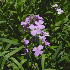 Flowers: Hesperis matronalis. ~ By Donald Cameron. ~ Copyright © 2020 Donald Cameron. ~ No permission needed for non-commercial uses, with proper credit