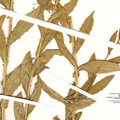 Leaves: Iberis amara. ~ By CONN Herbarium. ~ Copyright © 2019 CONN Herbarium. ~ Requests for image use not currently accepted by copyright holder ~ U. of Connecticut Herbarium - bgbaseserver.eeb.uconn.edu/